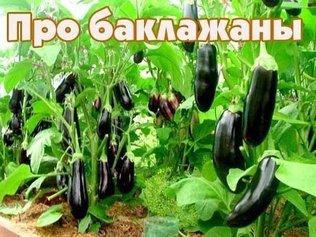 Что любит баклажан в России?