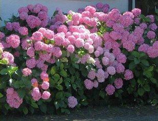Как  из белой гортензии сделать розовую или голубую