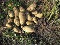 Супер! Сажаем картофель ростками вниз и не окучиваем