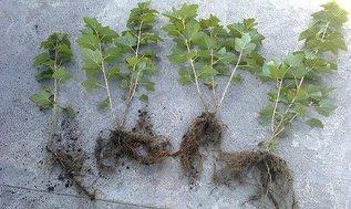 Сроки посадки смородины осенью и все нюансы ее проведения