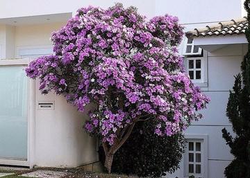 Тибухина – необыкновенное растение!