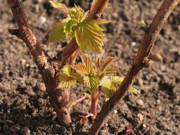 Обрезка малины осенью и весной
