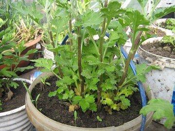 Просто: выращиваем хризантему из букета