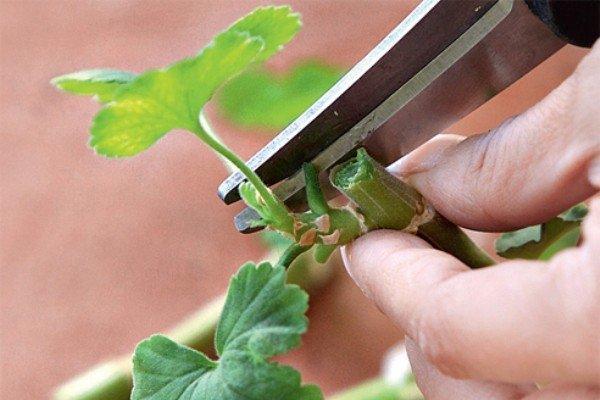 Обрезка и прищипка комнатных растений