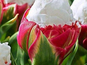 Новинка:Тюльпан - мороженое