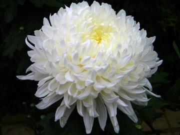 Царица осени — хризантема