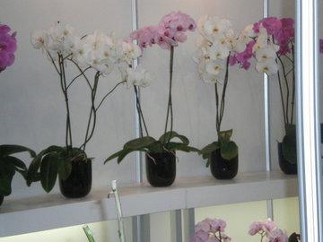 Орхидея - чудо на подоконнике
