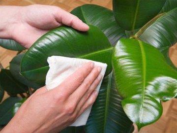 Как не надо ухаживать за листьями домашних цветов?
