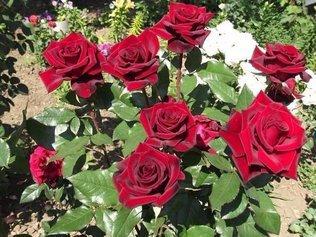 """Суперсредство """"Тройчатка"""" для проращивания роз"""
