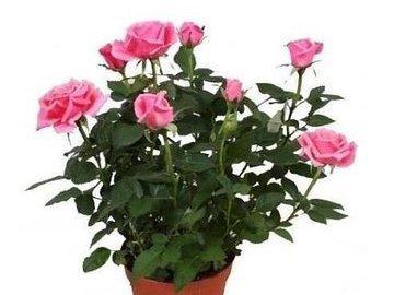 Моя роза цветет дома круглый год