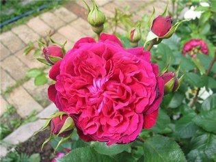 Как привить розу на шиповник