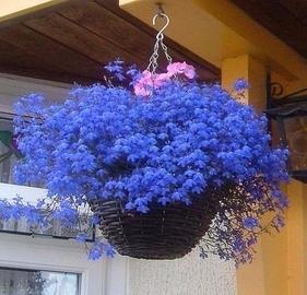 Лобелия: растим в доме голубое облако