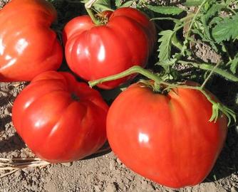 """""""Бычье сердце"""" - самый сладкий сорт томатов"""
