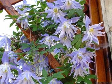 Необычные княжики-лианы украсят ваш сад