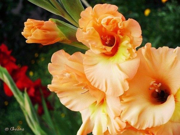 Гладиолусы - пошаговая инструкция по выращиванию