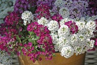 Алиссум: выращивание и уход