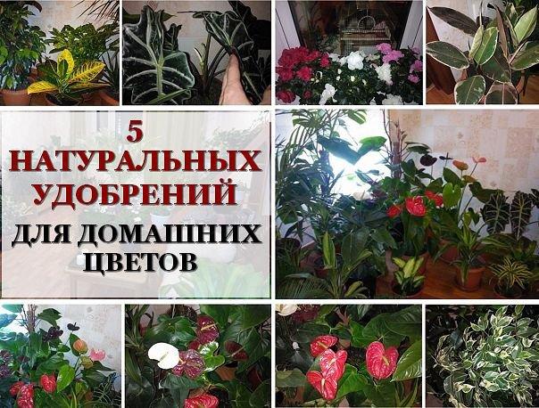 Пять натуральных удобрений для домашних цветов