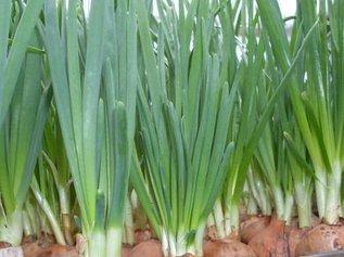 Ошибки в выращивании лука и чеснока