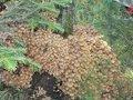 Выращивание опёнка осеннего на приусадебном участке