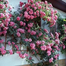 Не упустите момент посадки плетистой розы