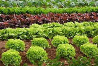 Семь особенностей выращивания листового и кочанного салата
