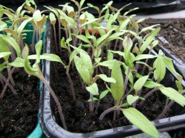Желтые или белые пятна на рассаде томатов. Все пропало?