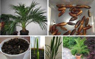 Хотите вырастить из косточки настоящую финиковую пальму?