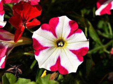 Какой цветок не подведет цветовода? Петуния!