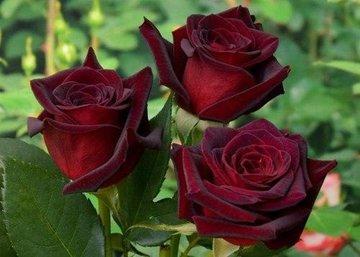 Возраст имеет значение: как правильно подкормить розы