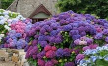 Как вырастить гортензию в контейнерном саду