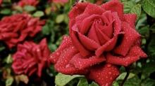 Как избавиться от тли на розах народными способами