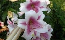 Лилия - цветок королевской власти