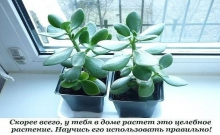 Толстянка, или денежное дерево, — растение, которое есть дома практически у каждого