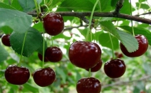 Подкормка вишни: когда, чем и как?