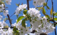 ТОП-8 легковыращиваемых плодовых и ягодных культур
