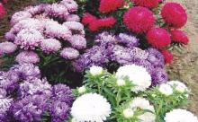 Неопытным садоводам: астра на рассаду